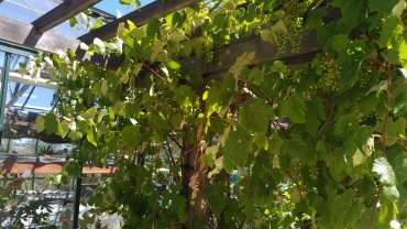 Grapes over arbor, Hood River Middle School